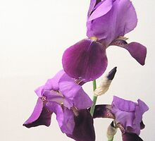 3 perfect Irises by Roger-Cyndy