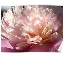 A divine Peony Poster