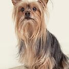 Yorkshire Terrier Poses on an Old Fashion Suitcase by susan stone