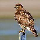 Perched Red Tail Hawk by Randall Ingalls