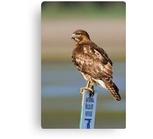 Perched Red Tail Hawk Canvas Print
