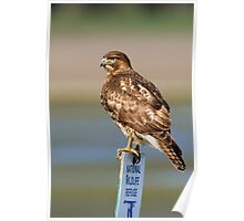 Perched Red Tail Hawk Poster
