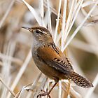 Marsh Wren II by Randall Ingalls