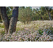 Everlasting Carpet - Wildflowers in Kings Park, Perth, Western Australia Photographic Print