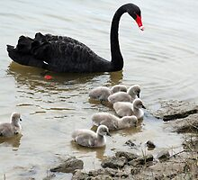 Black Swan & Cygnets by Robyn Williams