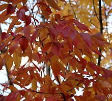Red and Yellow Fall Leaves by boydhowell