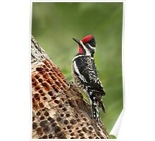 Yellow-bellied Sapsucker has been busy!! Poster