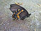 Spicebush Swallowtail Butterfly Female - Papilio troilus troilus by MotherNature