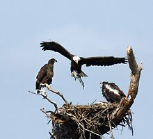 EAGLE WITH LARGE FISH by TomBaumker