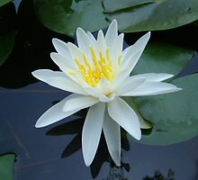 Water Lily~ by Virginian Photography (Judy)