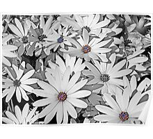 Patch of White Daisies Poster