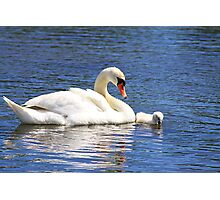 Cygnet and Mom Photographic Print