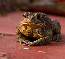 American Toad (Bufo americanus) by Megan Noble