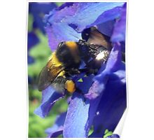 Bumblebee with pollen on delphinium Poster