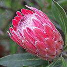 Protea by Robert Abraham