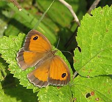 Southern-Gatekeeper Pyronia cecilia by Dennis Melling