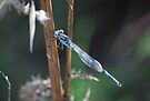Blue Damselfly by Adam Le Good