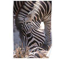 Zebra - Melbourne Zoo 2010 Poster