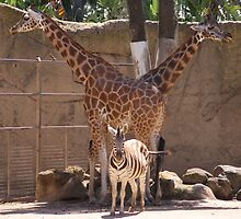 How many Giraffes ? - Melbourne Zoo 2010 by Trent Suski