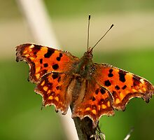 Comma Butterfly by Magic-Moments
