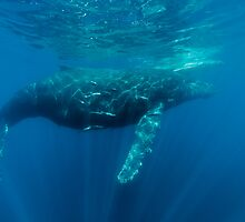 Majestic Whale by Fiona Ayerst