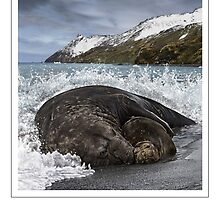 SOUTHERN ELEPHANT SEAL (Mirounga leonina) DIGITAL PAINTING. NOT A PHOTOGRAPH by DilettantO