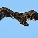 Juvenile Bald Eagle in Flight by barnsis