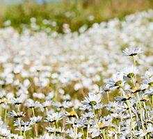 Daisy daisy daisy by Matthew Jones