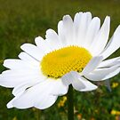Single Daisy in the Field . by Lilian Marshall