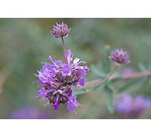 Salvia Photographic Print