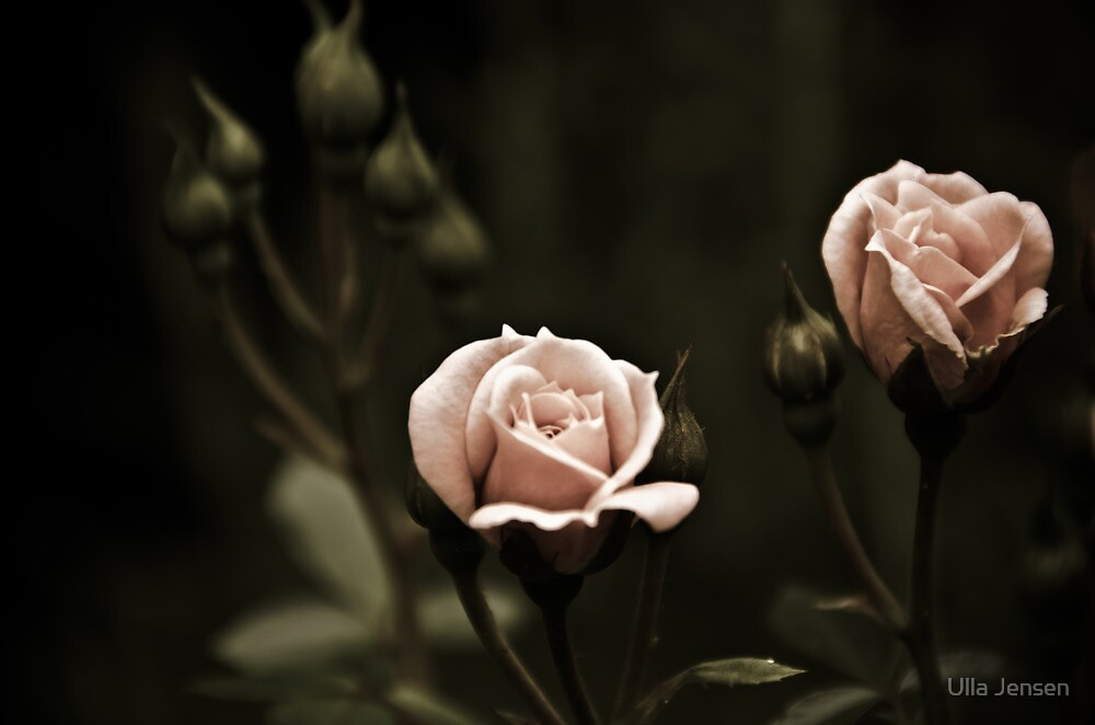 Rose - striving for light II by Ulla Jensen