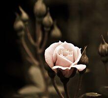 Rose - striving for light III by Ulla Jensen