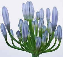 The flower of Agapanthus is going to come out -4 by acquart