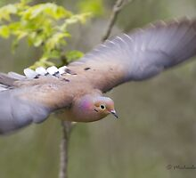 Mourning Dove in flight by PixlPixi