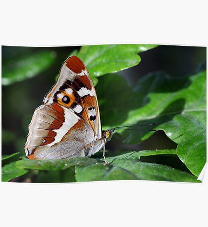 Purple Emperor butterfly underside view Poster