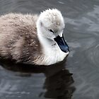 Cygnet in the Rain by vivsworld
