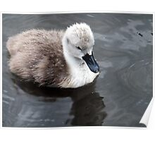 Cygnet in the Rain Poster