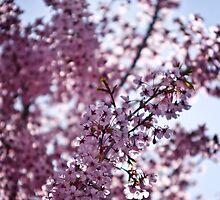 Cherry blossom by Aidan Clarkson