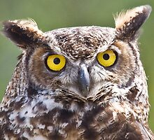 Great Horned Owl Closeup by PixlPixi