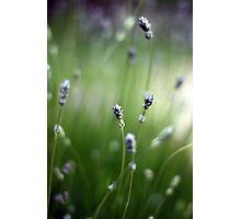 Lavender blur Photographic Print