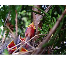Nestlings Photographic Print