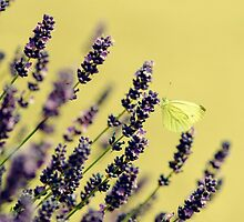 Butterfly on lavender flowers by Ovation66