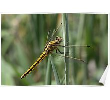 Yellow dragonfly 7624 Poster