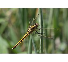 Yellow dragonfly 7624 Photographic Print