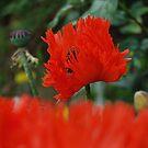 Oriental Poppy by rosiephoto