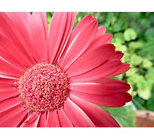 macro pink flower -defocussed green background Photographic Print
