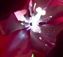 crimson flower macro with flared stamen by theonewhoisfree