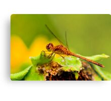 White Faced Meadowhawk Dragonfly Metal Print