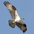 Another osprey catch! by jozi1