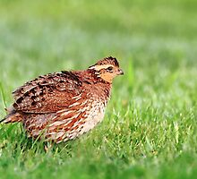 Northern Bobwhite - Female by Renee Dawson